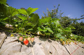 Strawberry bush growing in the garden — Stock fotografie