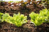 Frillice Iceberg, Organic garden — Foto Stock