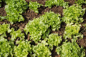 Green Oak Leaf Lettuce, Organic garden — Stock Photo