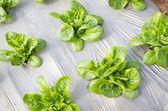 Organic Vegetable — Stock Photo