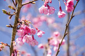 Pink Cherry Blossom with Blue Sky — Stock Photo