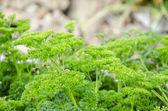 Parsley, Organic Garden — Stock Photo