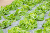 Butterhead Lettuce, Organic garden — Stock Photo