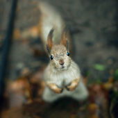 Squirrel — Stock fotografie