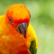 Sun Conure bird — Stock Photo