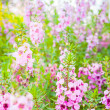 Meadow pink flowers in Northern of Thailand — Stock fotografie