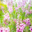 Meadow pink flowers in Northern of Thailand — Стоковое фото