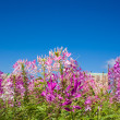 Spider flower or Cleome spinosa in Thailand. — Stock Photo