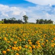 Marigold flowers in the meadow — Stock Photo