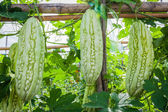 Bitter melon hanging on a vine in field — Stock Photo