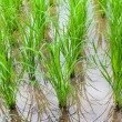 View of Young rice sprout ready to growing in the rice field — Stock Photo