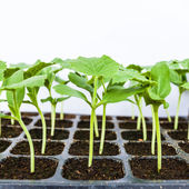 Young seedlings of melon in tray. — Stock fotografie