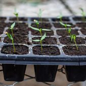 Young seedlings of pepper in tray. — Stock Photo