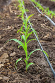 Corn field growing with drip irrigation system. — Stock Photo