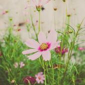 Beautiful Cosmos flowers — Stock Photo