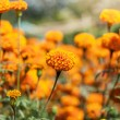 Stock Photo: Marigold flower and sunshine