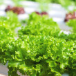 Fresh green lettuce grown in hydroponic systems — Foto Stock