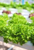 Fresh green lettuce grown in hydroponic systems — Stock Photo