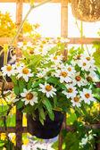 Beautiful white Narrowleaf Zinnia or Classic Zinnia flowers on b — Stock Photo