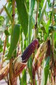 Purple corn on plant close up — Stock Photo