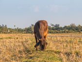 Cow on green field meadow. Nature composition. — Stock Photo