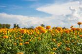 Calendula e cielo nel campo di fattoria. — Foto Stock