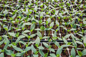 Young seedlings of cucumbers in tray. — Stock fotografie