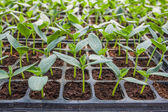 Young seedlings of cucumbers in tray. — Stock Photo