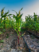 Corn field growing with drip water irrigation system. — Stockfoto