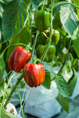 Red sweet peppers in greenhouse — Stockfoto