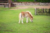 Little horse on field green grass — Stock Photo