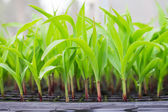 Corn seedling on tray in greenhouse — Stock Photo
