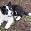 Stock Photo: Border collie puppy dog