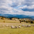 Sheep herd in mountains during autumn — Stock Photo