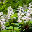 Stock Photo: Chestnut tree blossoms