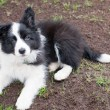 Border collie puppy dog — Stock Photo #33920177