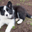 Border collie puppy dog — Stock Photo
