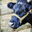 Stock Photo: Cow in farm