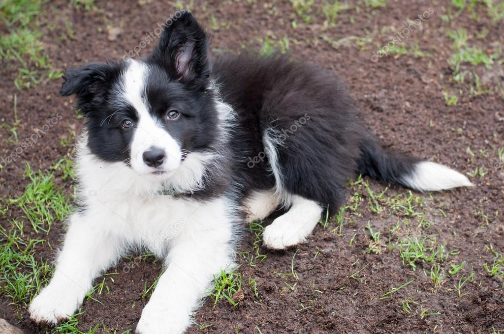 how to train your border collie puppy