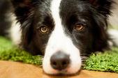 Ritratto di cane — Foto Stock