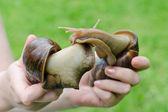 Two big snails in the hands cuddling to each other — Stock Photo