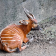 Stock Photo: Red-haired antelope lying on ground