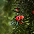 Red berries on a branch — Stock Photo