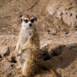 Meerkat sitting on the sand — Stock Photo