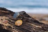 Snäckskal på ett trädäck — Stockfoto