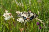 Zbliżenie na kwiat motyl — Zdjęcie stockowe