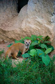 Weasel sitting near the cave — Stock Photo