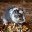 Spotted mouse (rodent) — Stockfoto #38213835
