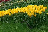 Tulip field, wave of yellow flowers — Stock Photo