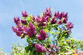 Heart-shaped bush of blooming lilacs — Stock Photo